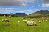stock photo of ireland  - Sheep and rams in Connemara mountains  - JPG