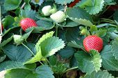 image of strawberry plant  - Strawberry plants in garden with green leaves - JPG