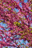 picture of judas tree  - Judas tree - JPG