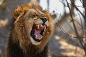 Big Lion Male Portrait In The Warm Light. Wild Animal In The Nature Habitat. African Wildlife. This  poster