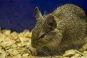 Degu Close Up, Shallow Dof.the Common Degu - Octodon Degus - Is A Small Caviomorph Rodent Endemic To poster