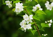 picture of jasmine  - The image of a beautiful blossoming branch of jasmine - JPG