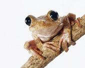 stock photo of funny animals  - Tree frog in a macro photo isolated on white background - JPG