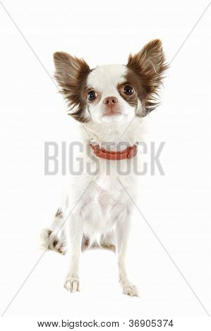 Chihuahua With Preventive Collar