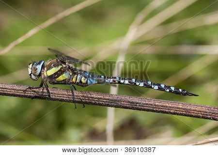 Migrant Hawker (Male)