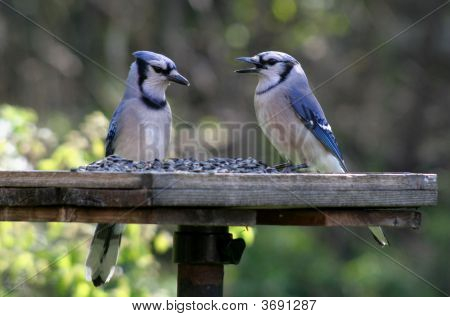 Two Feeding Blue Jays