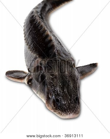 Fresh Sterlet Fish On White Background