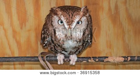 Eastern Screech Owl (Megascops asio) In Box Perch