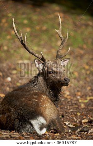 Un ciervo de ciervos Sika (cervus Nippon)