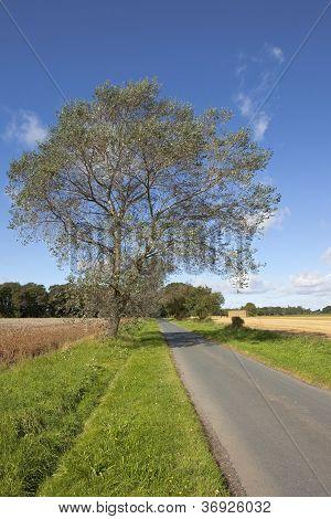 White Poplar In Autumn