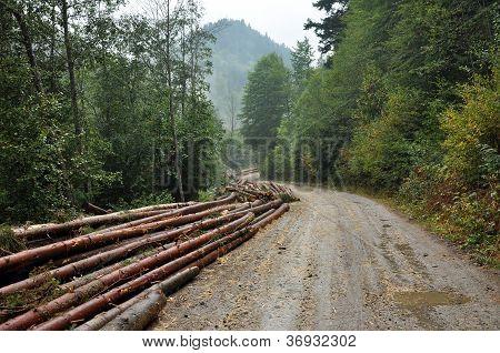 Freshly cut tree trunks near a forest road