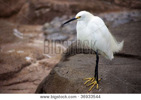 White Bird with Yellow Feet on Rock