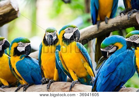 The Magnificent Green Wing Macaw