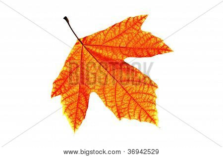 Red Leaf Isolated