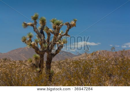 Joshua Tree In The Mohave Desert
