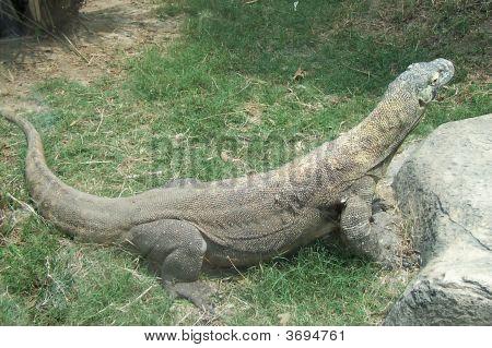 Giant Komodo Dragon