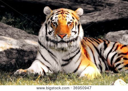 siberian tiger laying in the grass