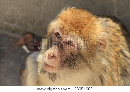 african macaque monkey