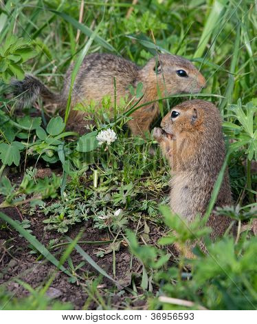 Family Gophers