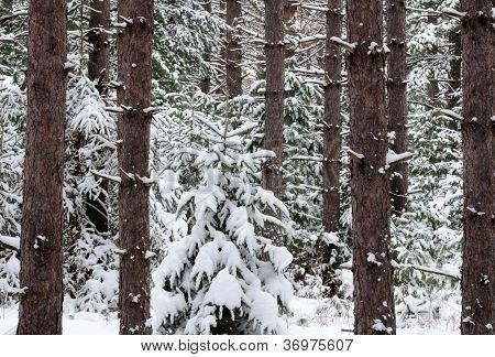 Snow-laden evergreen trees