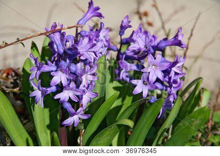 violet hyacinth