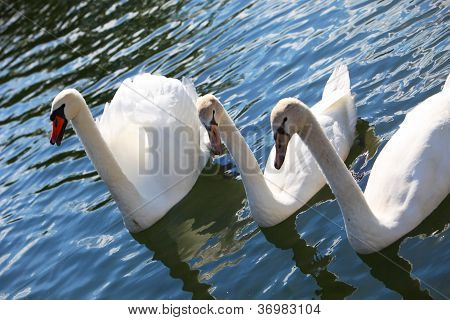 White Swans Swimming On Lake