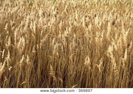 Field Of Brown Grass