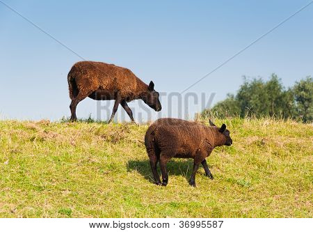 Two Brown Sheep With A Thick And Warm Coat