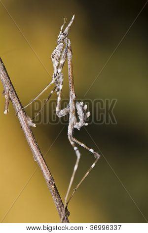 Mantis Palo (empusa Pennata)