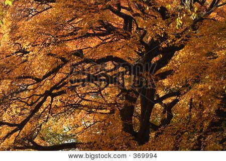 Big Tree With Fall Colors