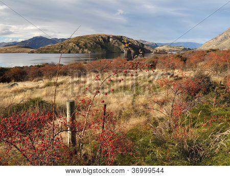 Wild Rose Hips Beside Lake Wanaka In Autumn, Otago New Zealand