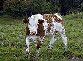 image of feedlot  - a brown and white brindled cow on feedlot in late summer - JPG
