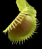 picture of flytrap  - illuminated venus flytrap detail in black back - JPG