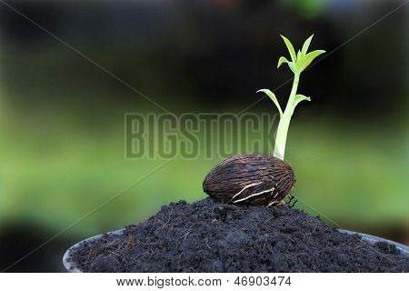 Young othalanga sprout seed on plant pot.