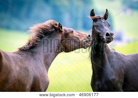 Two horses playing on green background.