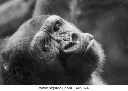 Thinking Young Gorilla
