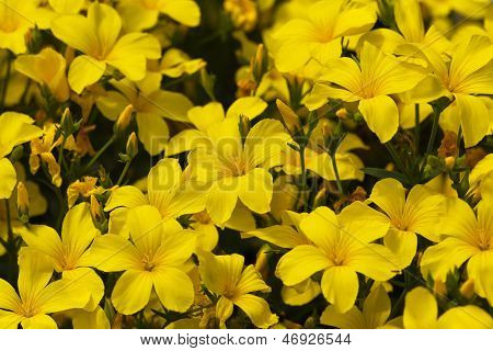 a lot of blooming yellow flowers of linum flavum in the garden