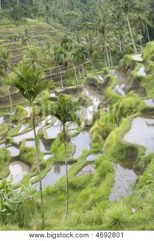 Rice Fields On Terraces, Indonesia (3)