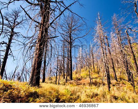 Trunks of trees burned in a forest fire