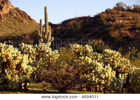 Arizona. Cacti Field In Vulture Mountains Near Wickenburg.