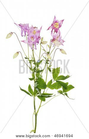 Aquilegia vulgaris  (European Columbine)  flower