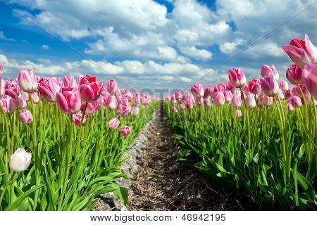 Beautiful Pink Tulips Over Blue Sky