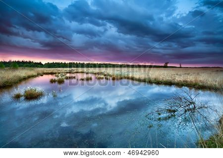Swamp With Flowering Cottongrass At Sunset
