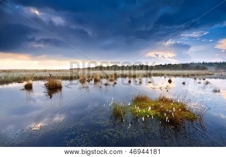Cotton Grass On Swamp After Storm