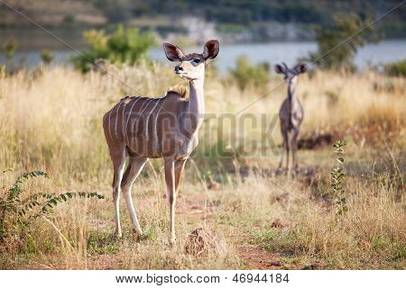Two Alert Kudus Walking In Nature Reserve
