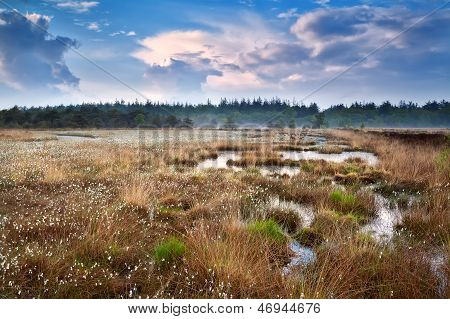 Cotton-grass On Swamp And Blue Sky