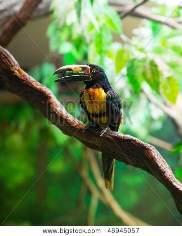 Collared Aracari Agarrado Pteroglossus torquatus pájaro de tucán