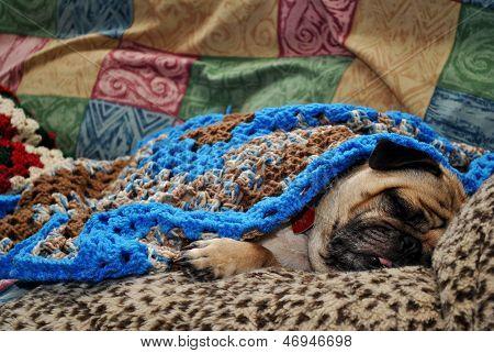 Sleepy pug snuggled up in a heap of warm blankets,