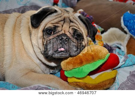 Pug-Are we having fun yet?