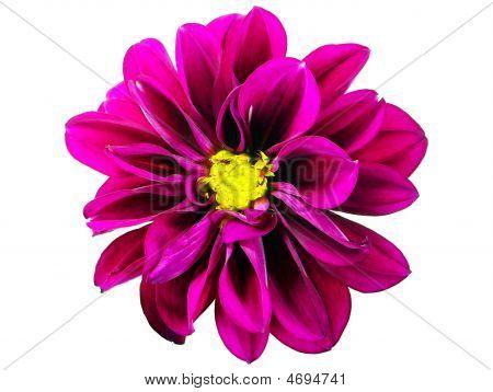 Dahlia Hortensis Blume